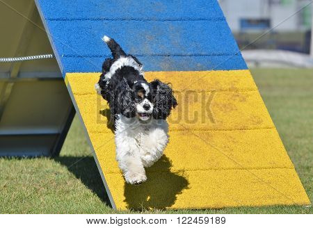 American Cocker Spaniel Jumping off an A-frame at Dog Agility Trial
