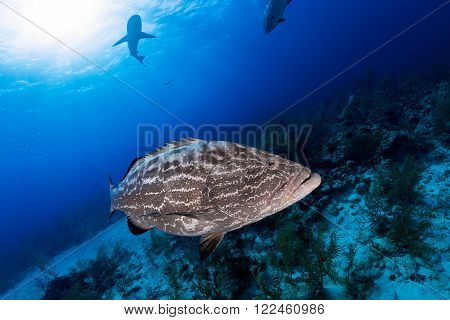 Big Grouper Close Up And Reef Shark On Background, Scuba Diving In Nassau, Bahamas