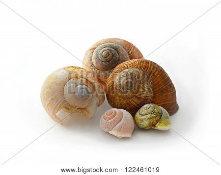 macro photo of five snail's conch on white background