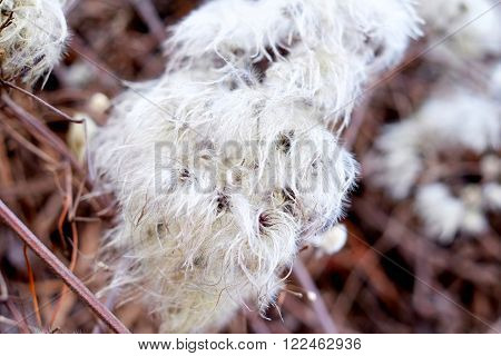 Hairy Plant, Cotton