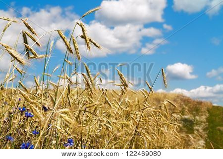 Spikelets of wheat growing in a field on the background of sky and clouds