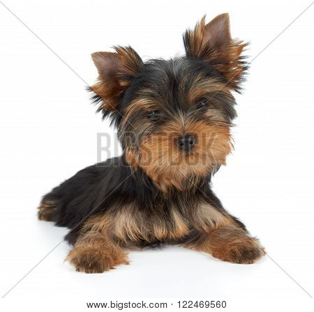 One puppy of the Yorkshire Terrier with tilted head on white