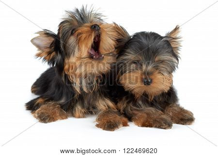 Two puppies of the Yorkshire Terrier. One puppy yawns the other closed eyes.