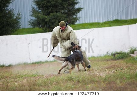 Omsk, Russia - August 22, 2014: Canine Center Training of german shepherd. Fight process