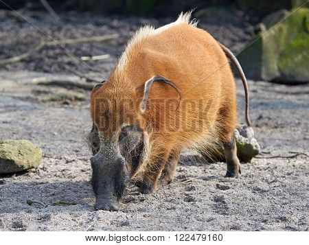 Red river hog looking for food in its habitat