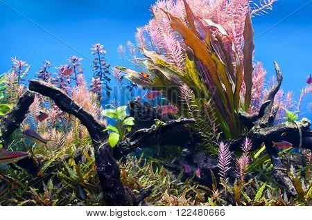 Underwater algae in an aquarium with small fish