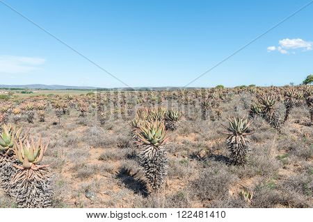 A field of bitter aloes Aloe ferox near Cookhouse in the Eastern Cape Province of South Africa