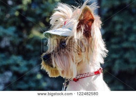 Muzzle Yorkshire terrier in a profile close-up.