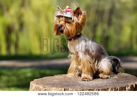 Charming Yorkshire Terrier with a bow on a stump.