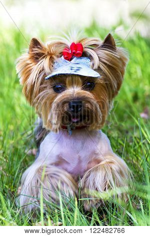 Charming Yorkshire terrier with a bow in the grass.