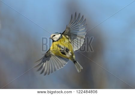 Flying Blue Tit (Cyanistes caeruleus Parus caeruleus) against blue sky background
