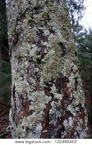 Lichen grows on the trunk of a tree in the Leslie Nature Preserve of Harbor Springs, Michigan.