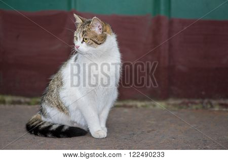 Beautiful ordinary cat (male) gracefully sitting on a street