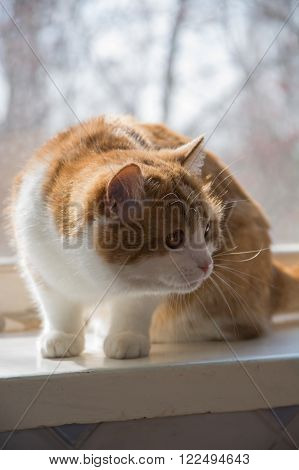 Red-haired fluffy white cat with long whiskers pricked up his ears sitting in the window going down on its target.