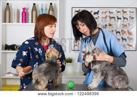 Veterinary conducting a review two schnauzer dogs