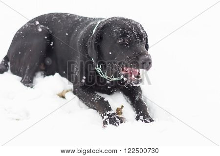 The black retriever playing on the snowfield