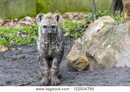 Young spotted hyena (Crocuta crocuta) with a rock ** Note: Soft Focus at 100%, best at smaller sizes