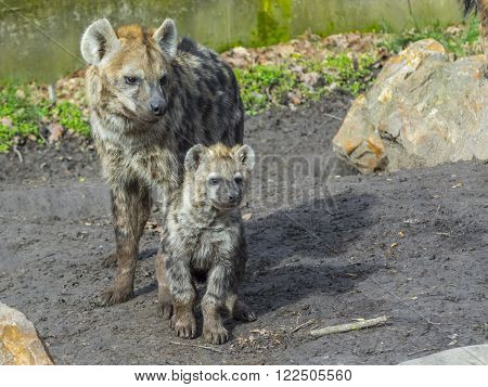 Young and older spotted hyenas (Crocuta crocuta) ** Note: Soft Focus at 100%, best at smaller sizes