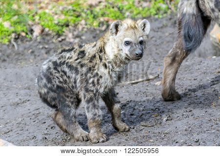 Young spotted hyena (Crocuta crocuta) is walking ** Note: Soft Focus at 100%, best at smaller sizes