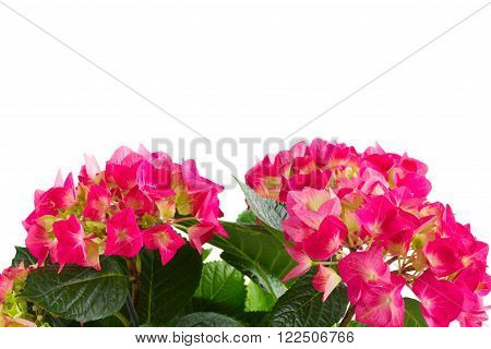 Fresh pink hortensia flowers isolated on white background