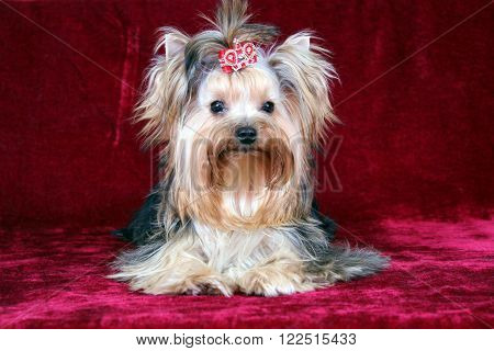 Small and pedigree dog hair on a red background.