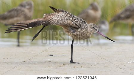 Marbled Godwit (Limosa fedoa) Stretching a Wing and Leg During a Migration Stopover in Florida