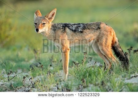 A black-backed Jackal (Canis mesomelas) in natural habitat, Kalahari, South Africa