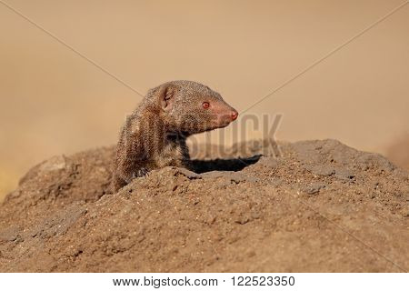 Portrait of a dwarf mongoose (Helogale parvula), South Africa