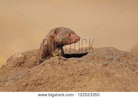 Portrait of a dwarf mongoose (Helogale parvula), South Africa