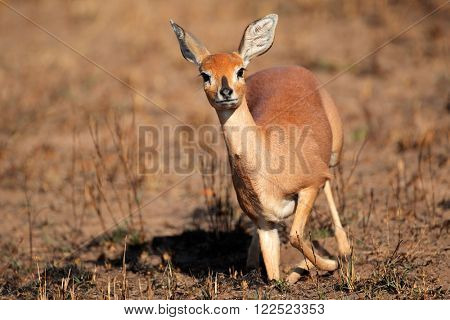 Female steenbok antelope (Raphicerus campestris), South Africa