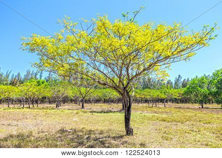 Lonely tree in the forest instead of gold leaf with sleek designs radiate golden tree leaf color distance is also preparing to replace the trees leaves peaceful and romantic to watch