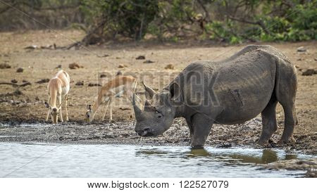 Specie Diceros bicornis family of Rhinocerotidae, southern black rhinoceros in the riverbank