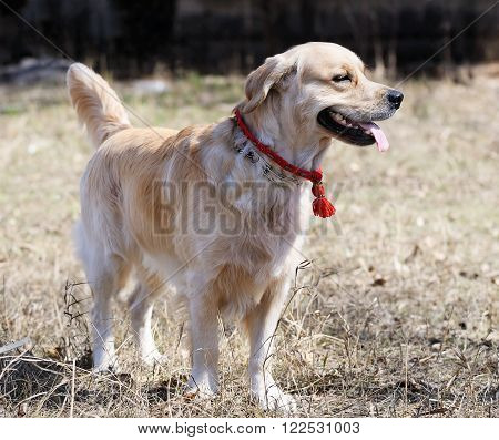 Golden Retriever dog standing over blurry background