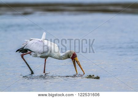 Specie Mycteria ibis family of Ciconiidae, yellow billed stork fishing, Lower Sabie, South Africa