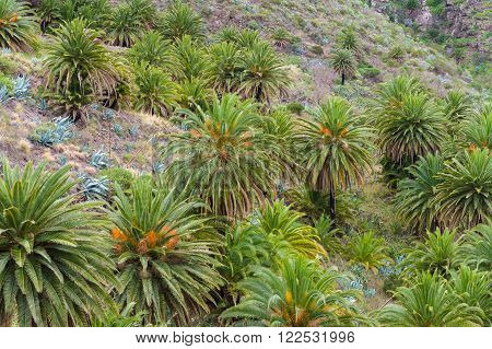 Hill slope with palm trees and agave
