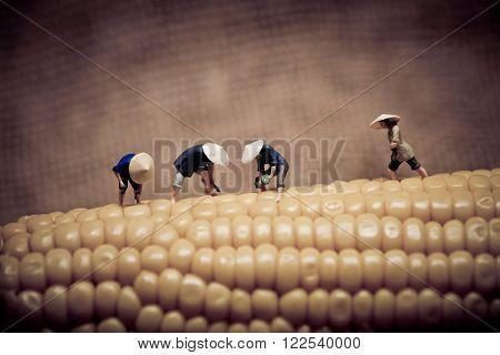 Asian peasants harvesting corn. Color tone tuned. Macro photo