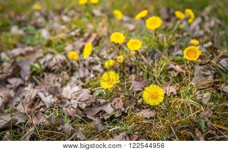 Closeup of yellow flourishing coltsfoot or Tussilago farfara plants between grass and fallen brown oak leaves. It is at the end of the winter season.