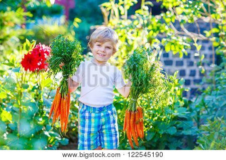 Funny smiling kid boy eating and picking carrots in domestic garden. child gardening outdoors. Healthy organic vegetables as snack for kids and kindergarten children