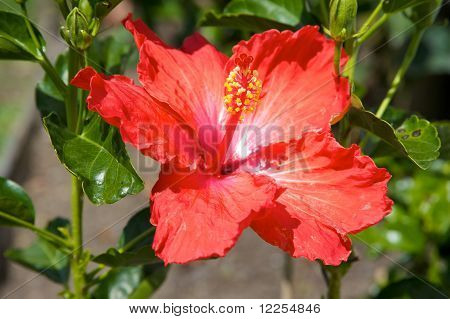 Blooming red flower