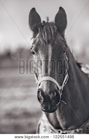 Black Horse with bridle portrait in black white