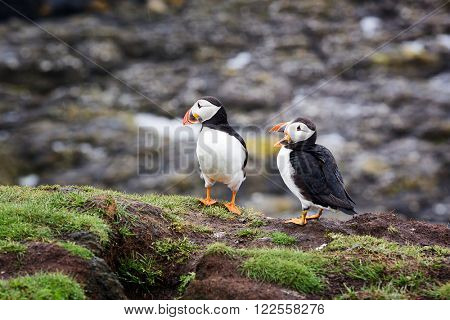 A pair of puffins on the cliffs of Treshnish Isle, Inner Hebrides, Scotland