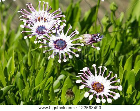 Beautiful bright purple-pink-white flowers with a blue center and unusual compressed petals - hybrid variety Osteospermum in the garden summer day