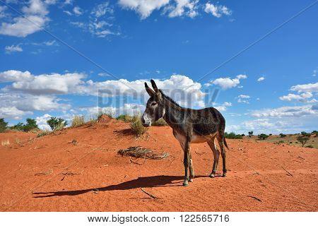 Donkey In Desert