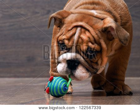Puppy English bulldog playing with a toy. Big dog muzzle. Puppy is small and funny