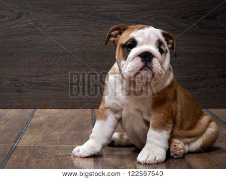 Purebred English bulldog puppy. Puppy 3 months. Dog sitting on the wooden floor. Portrait of an elite puppy