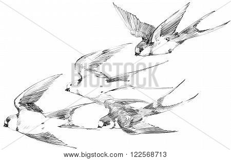 Swallow. Swallow pencil sketch. Spring Bird. Bird Swift. Swift flight