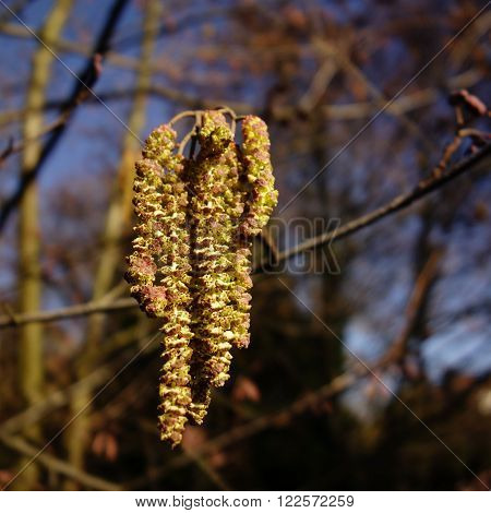 Close-up of long yellow male hazel catkins