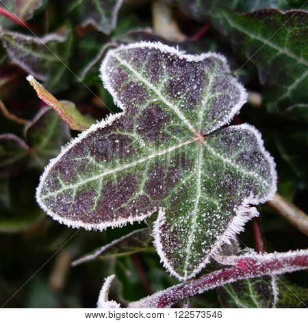 Frosted green and purple ivy leaf in winter