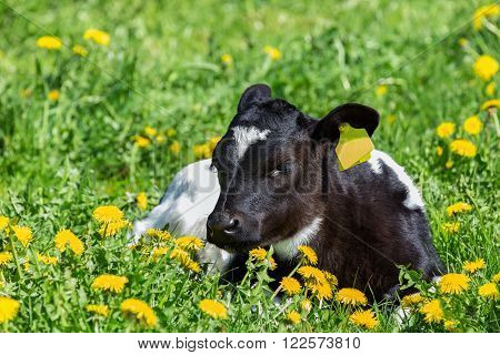 Newborn calf lying in green grass with yellow flowers dandelions