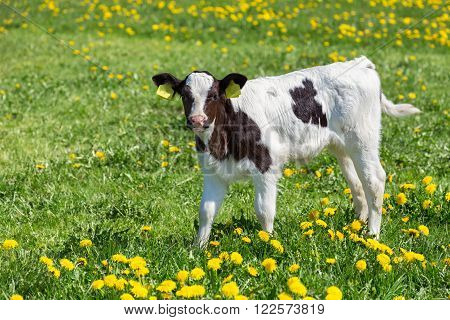 Standing newborn calf in green grass with yellow dandelions in holland